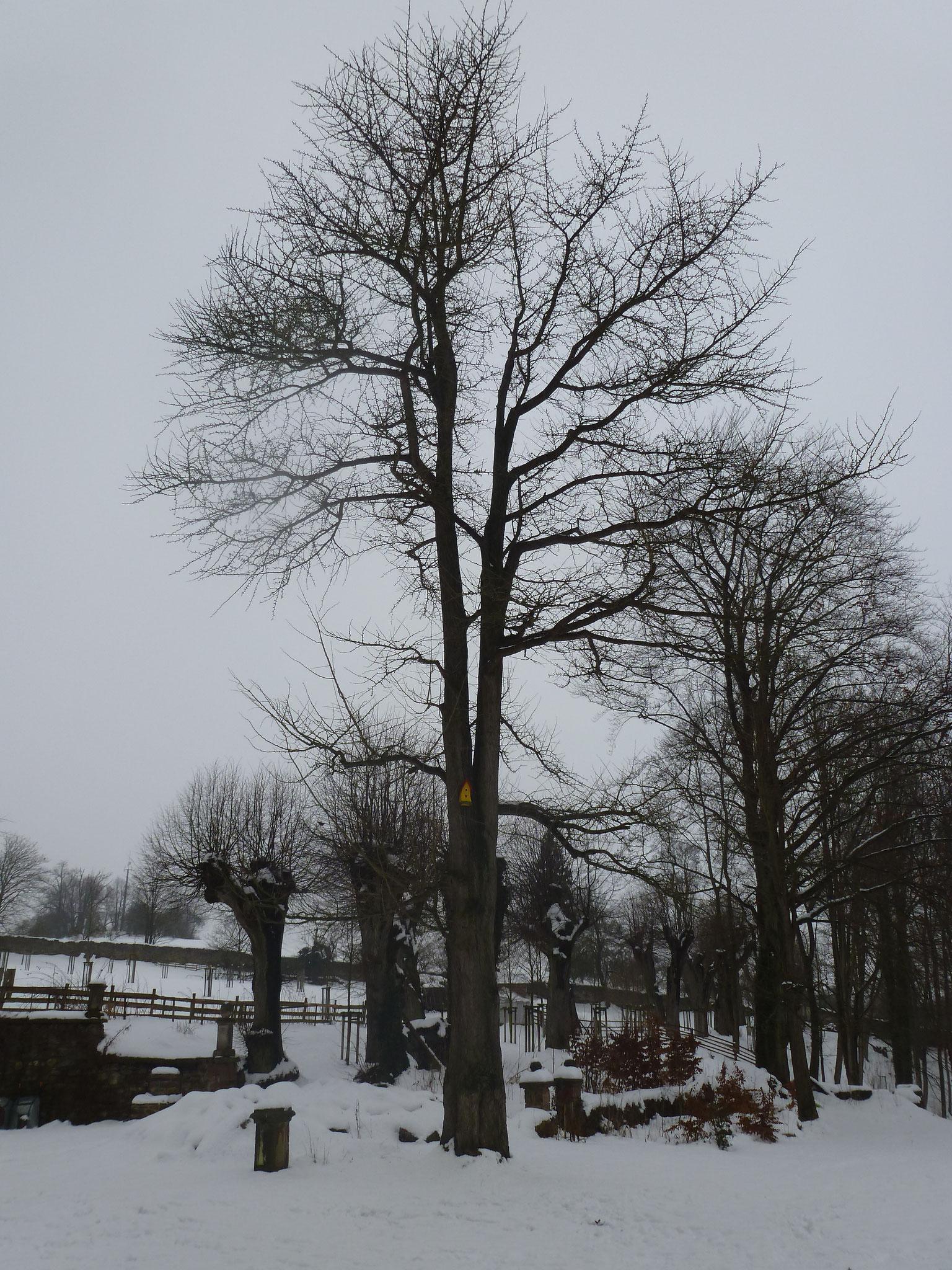 Der Lausnitzer Ginkgo im Winter