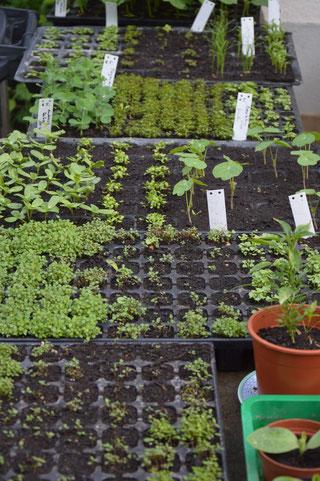 Jungpflanzenverkauf Lausnitz